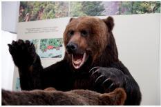 Южно-Сахалинск: во что превращается Медведь, хозяин тайги и национальный символ России?