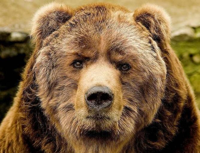 Мэр одного из уральских городов запретил медведям гулять по улицам