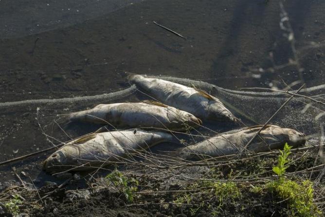 Движение рыб в реке самур