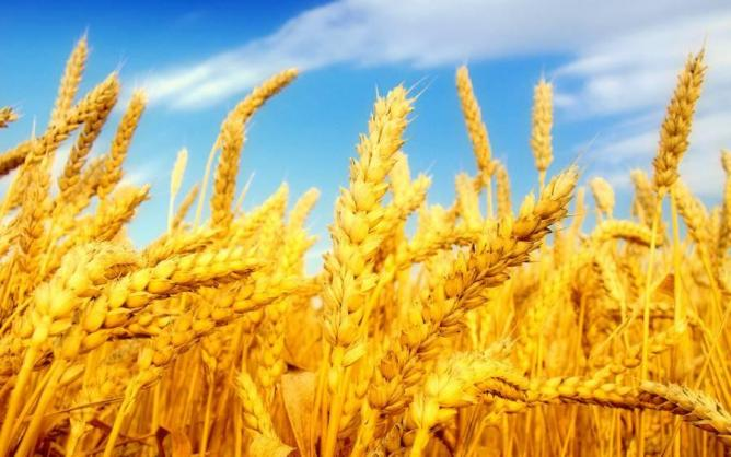 Турция отказывается от российской пшеницы